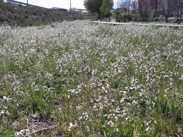 En mayo de 2014 las rúculas eran muy abundantes en el Parque del Vivero de Guadix