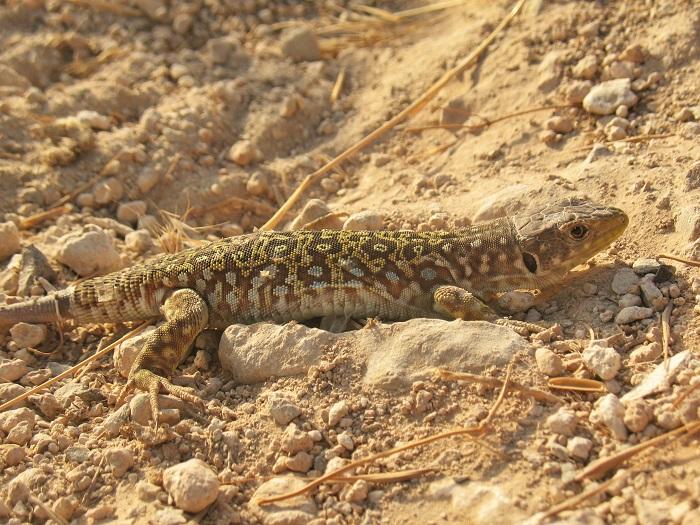 lagarto ocelado de la subespecie nevadensis