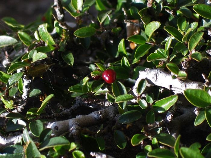 Detalle de fruto y hojas de cerezo rastrero.
